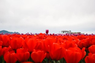 Skagit Valley Tulip Festival, April 2017
